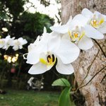 Some orchids growing on a tree by the driveway