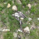 Dead eagle on hike - I think