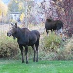  Moose in the backyard