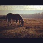  Horse in New Forest