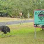 Cassowary leaving