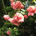 Explore the tropical garden - Bangkok Rose ( I had never seen one before and fell in love with t