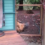  Chickens came to say Hello