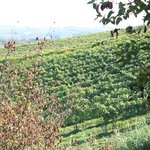 Wine grapes on the vine as far as the eye can see!