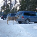 Yep... deer just chill in the carpark there next to the reception desk..!