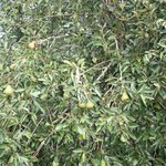                    Fruitful pear tree
