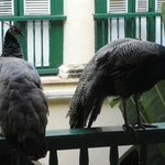  Peacock and peahen in courtyard