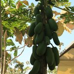  Home grown papaya