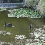 Black swans, picture taken 1/2011