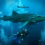 Whale Shark with Pura Vida Diving