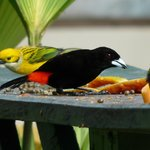 Colorful Tanagers