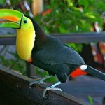  Toucy the resident toucan visited for breakfast.