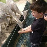                    Hand feeding the Alpacas