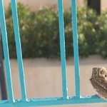                    an owl seeking refuge from the mistral on our balcony