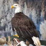 Scotty, resident LIVE eagle. Visit during feeding time for presentation and sh