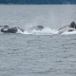 Bubble netting whales