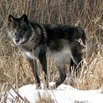 Zeebie, a great plains wolf.