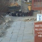 Miniature goats herded through town