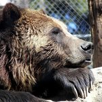 Grizzly Bear Tutu who was rescued when she became a three strikes bear