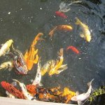  koi fish at play