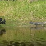 Alligators and buzzards at Myakka River state park