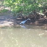                    Blue heron in Oscar Scherer state park