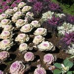 Ornamental cabbage at the pagoda grounds