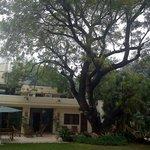 Lutyens bungalow with a 100 year old Neem tree in the foreground