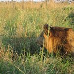  Lion at Kidepo