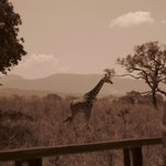  kidepo giraffe