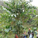 coffee trees dot the Echo Valley area