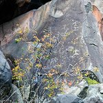 Petroglyphs in Laws Springs area