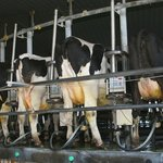 Carossel of Cows being milked.