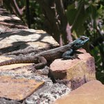 Blue-headed lizard down by the road