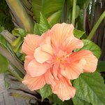 Hibiscus, outside our room