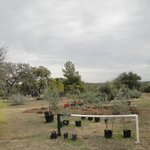 Their asparagus & artichokes garden among a grove of ranch olive trees