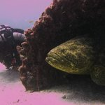 peek-a-boo with a Goliath grouper on The Sea Emperor