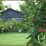 Apple tree and log cabin