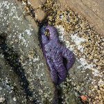 Tide Pool Star Fish