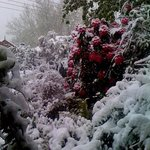 spring snows on Rhododendrons,Blackheath