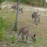                    kangaroos grazing in the campground