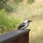                   kookaburra comes tovisit