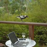                    curious magpie