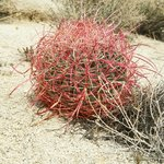 The spiny red barrel cactus