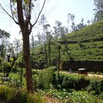 Surrounding tea plantation