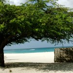 dividivi tree - they grow sideways on the island due to the
