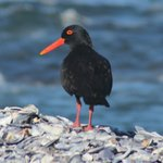  Oystercatcher close-up at Shelly Point