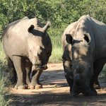                    Big and amazing rhinos