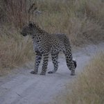 Subadult leopard walking across the road.