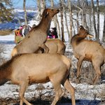                    Alpha female Elk displaying over food rights
